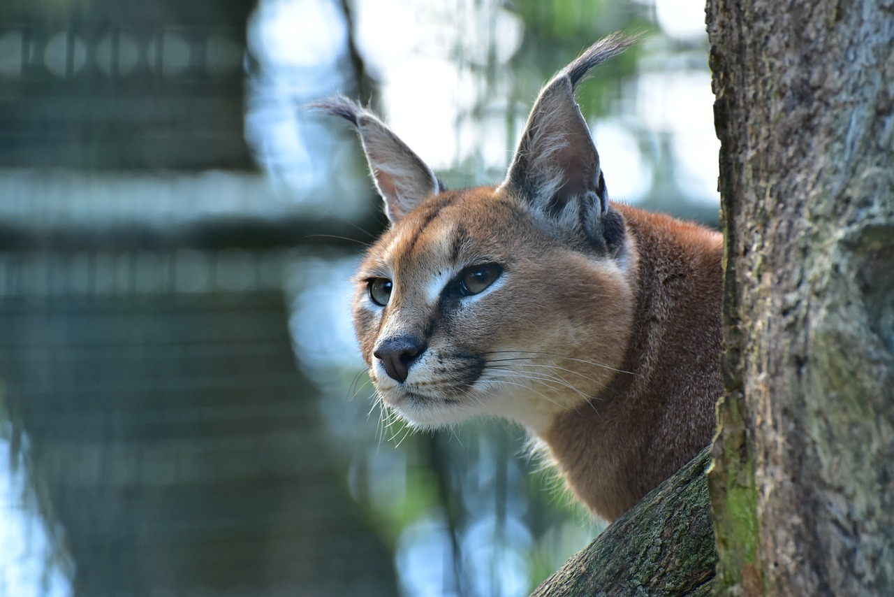 Caracal,cat family, caracal kittens