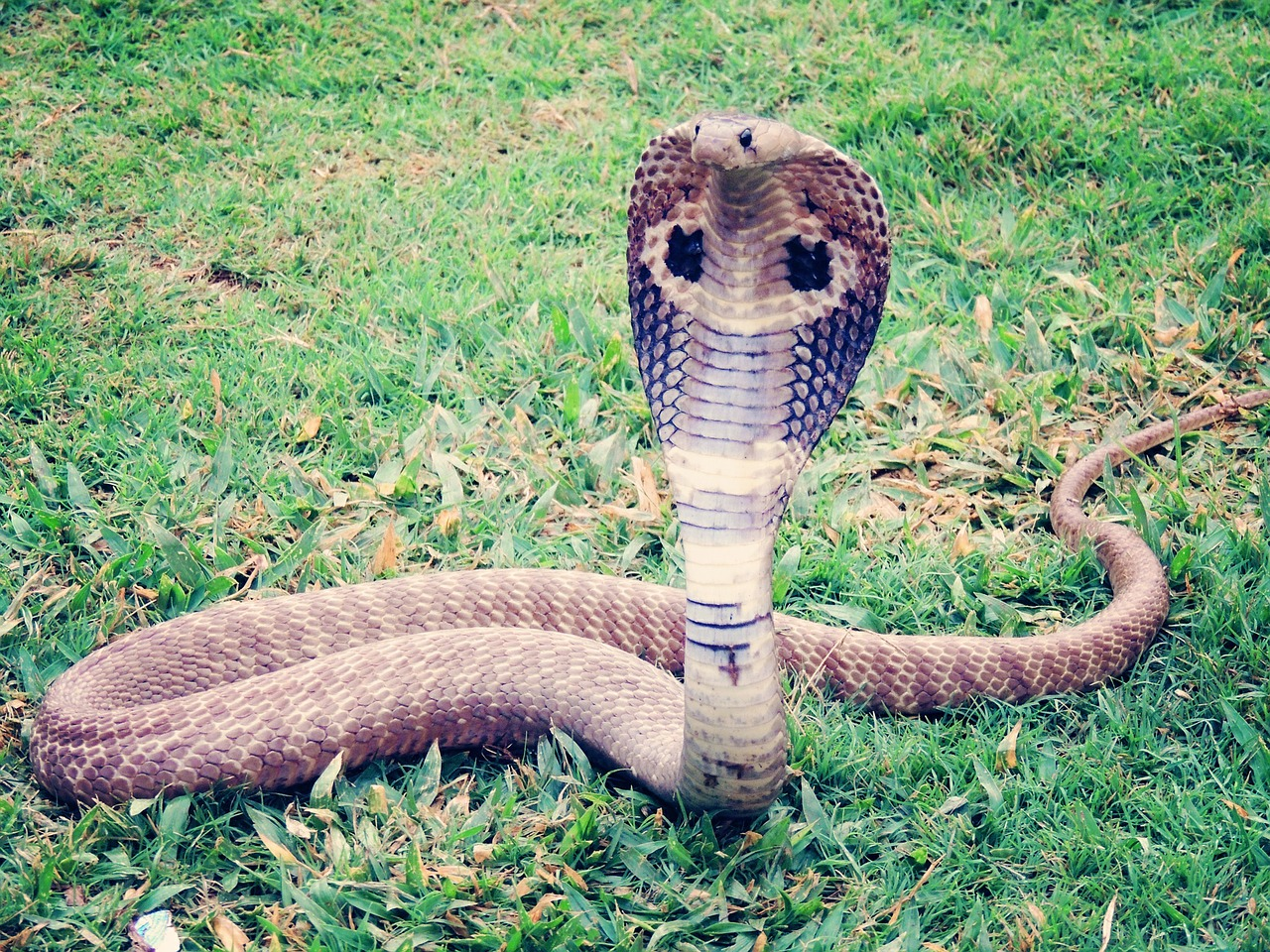 King Cobra,reptiles and amphibians