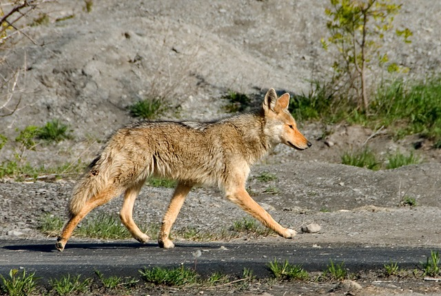 what does a coyote look like, dog family