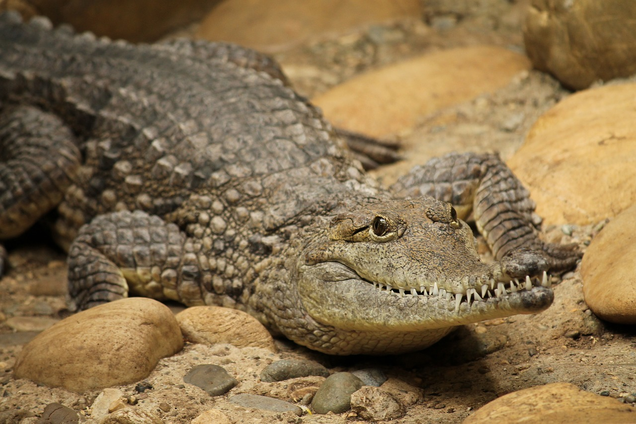 Crocodile,reptiles and amphibians, what do crocodiles eat