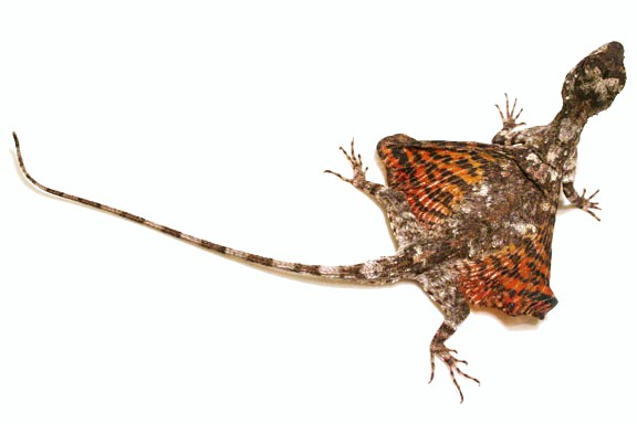 Draco Lizard, reptiles and amphibians, flying dragon lizard