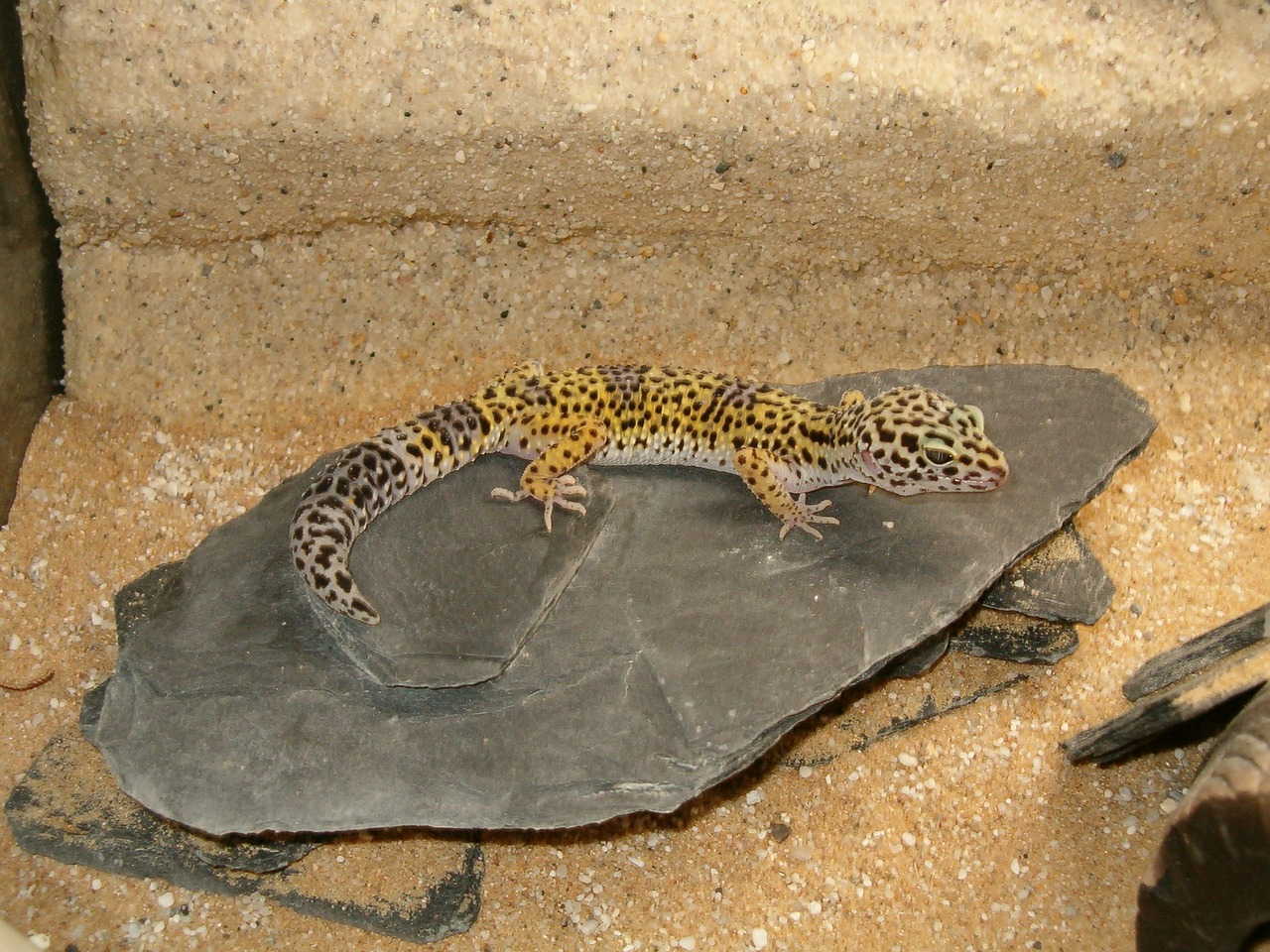 Gecko,reptiles and amphibians