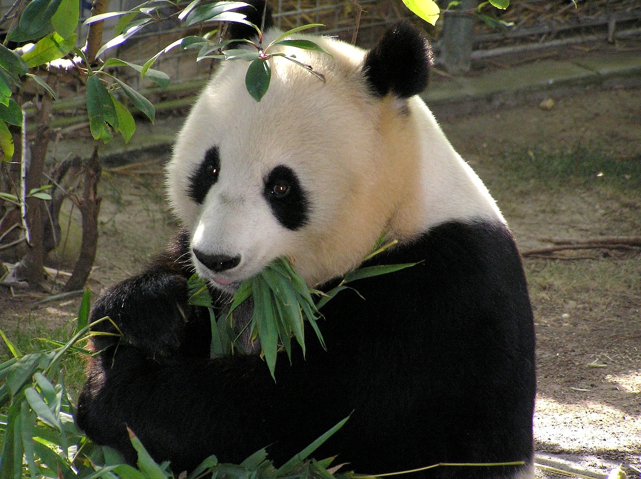Giant Pandas, why are giant pandas endangered bear family