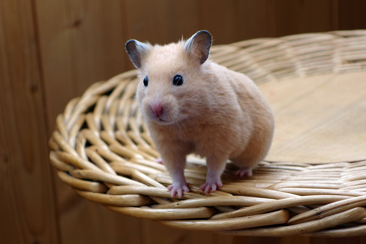 Dwarf Hamster,rodents, baby hamster