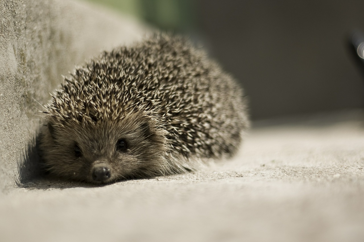 Hedgehog,insect eaters, what to feed hedgehogs