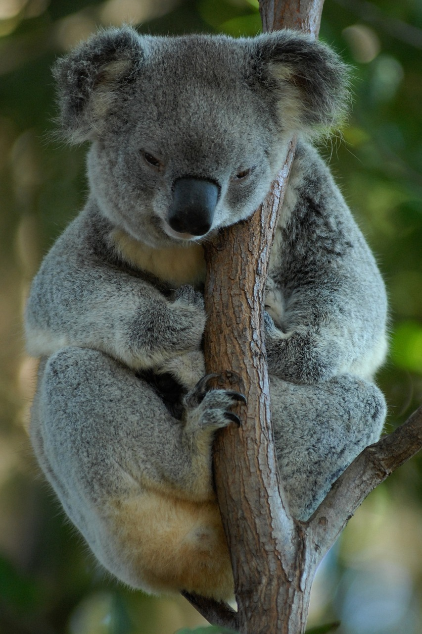 Koala, what do koalas eat, Marsupials Rodents