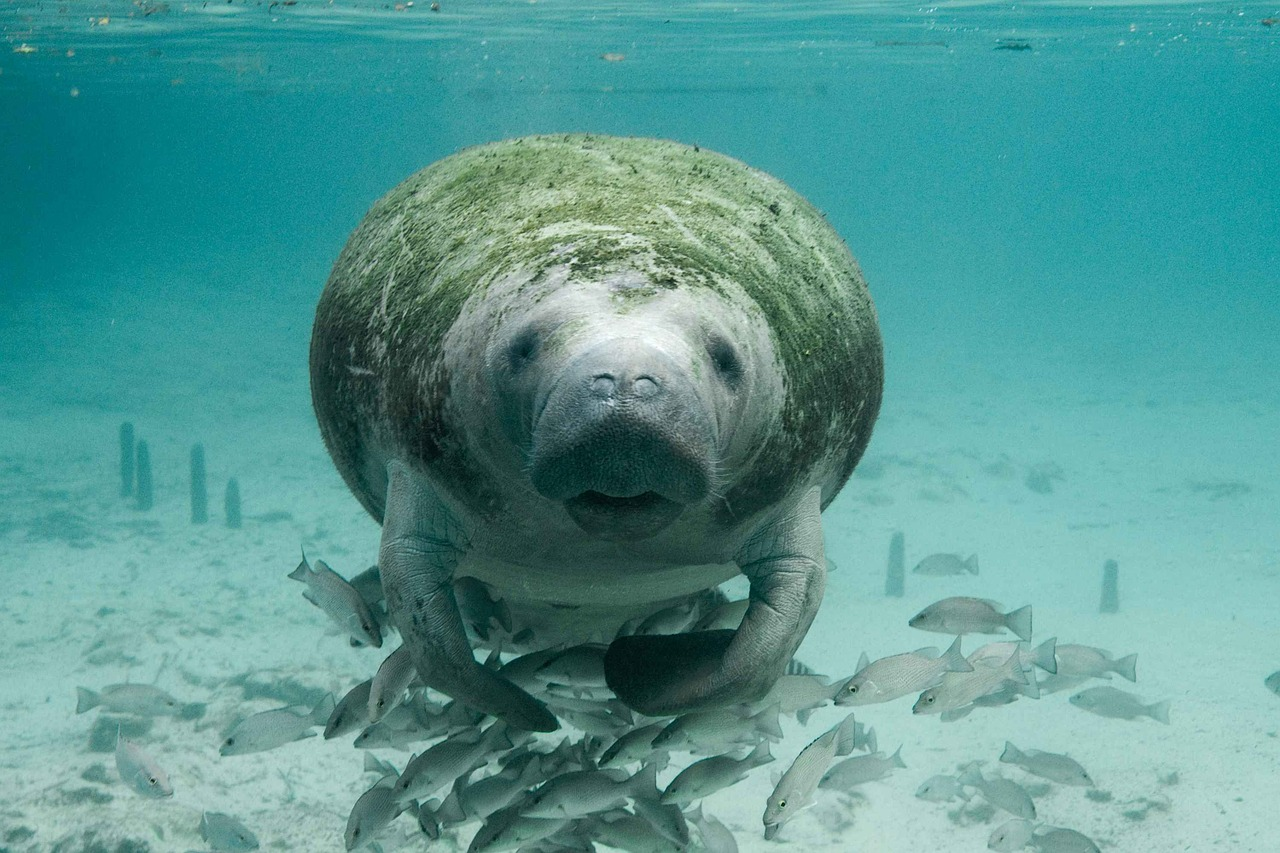 Are manatees endangered,water mammals