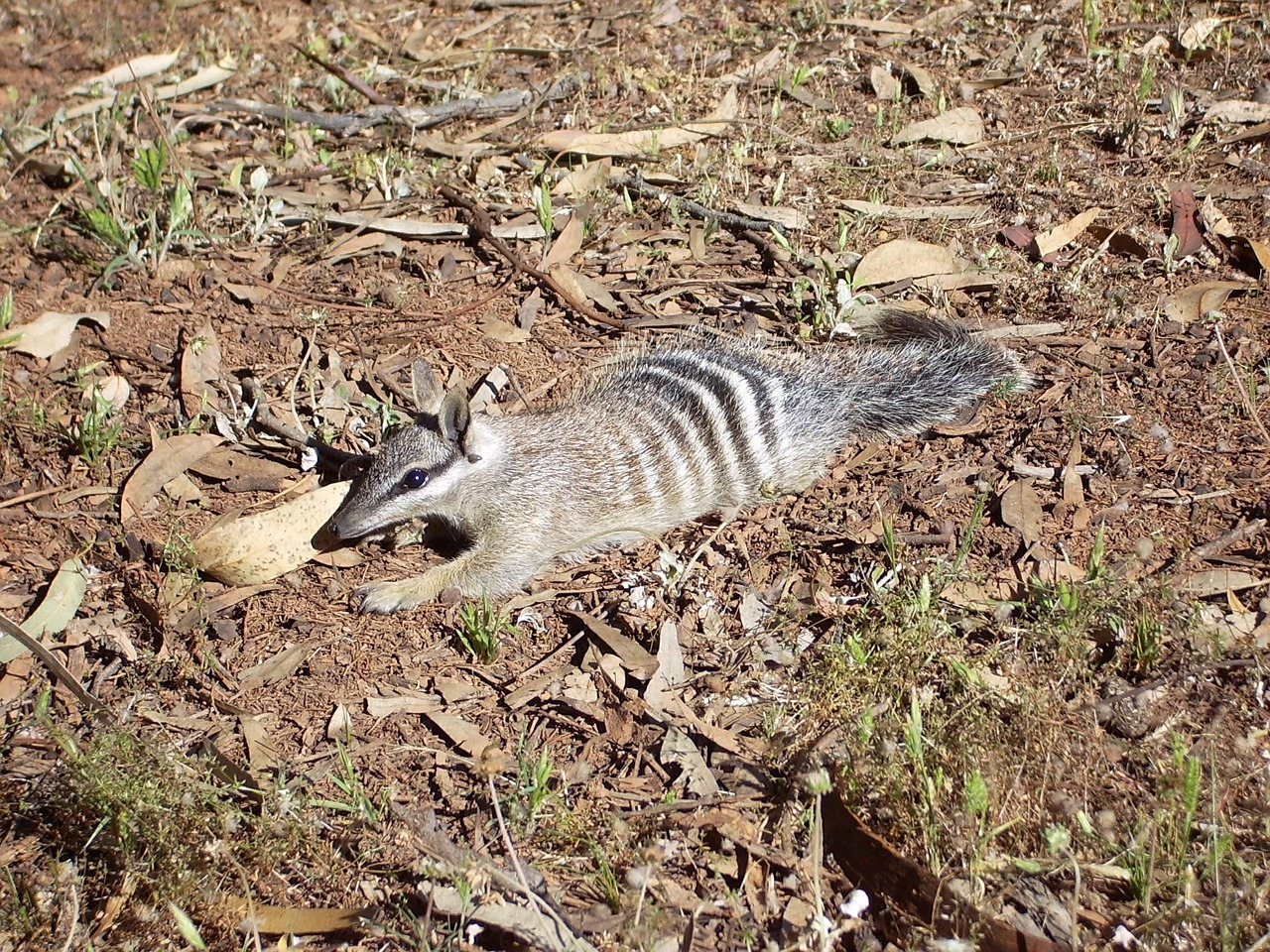 Numbat facts, Numbat,marsupial Rodents