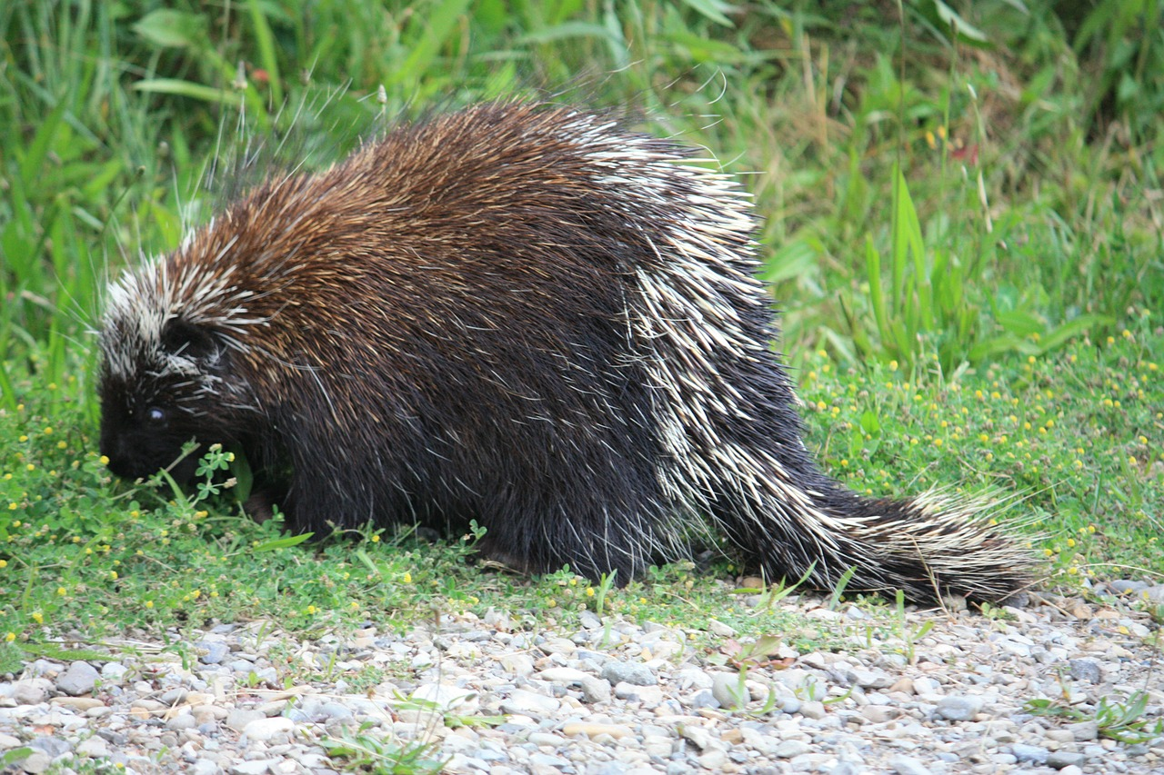 What do Porcupine eat, rodents