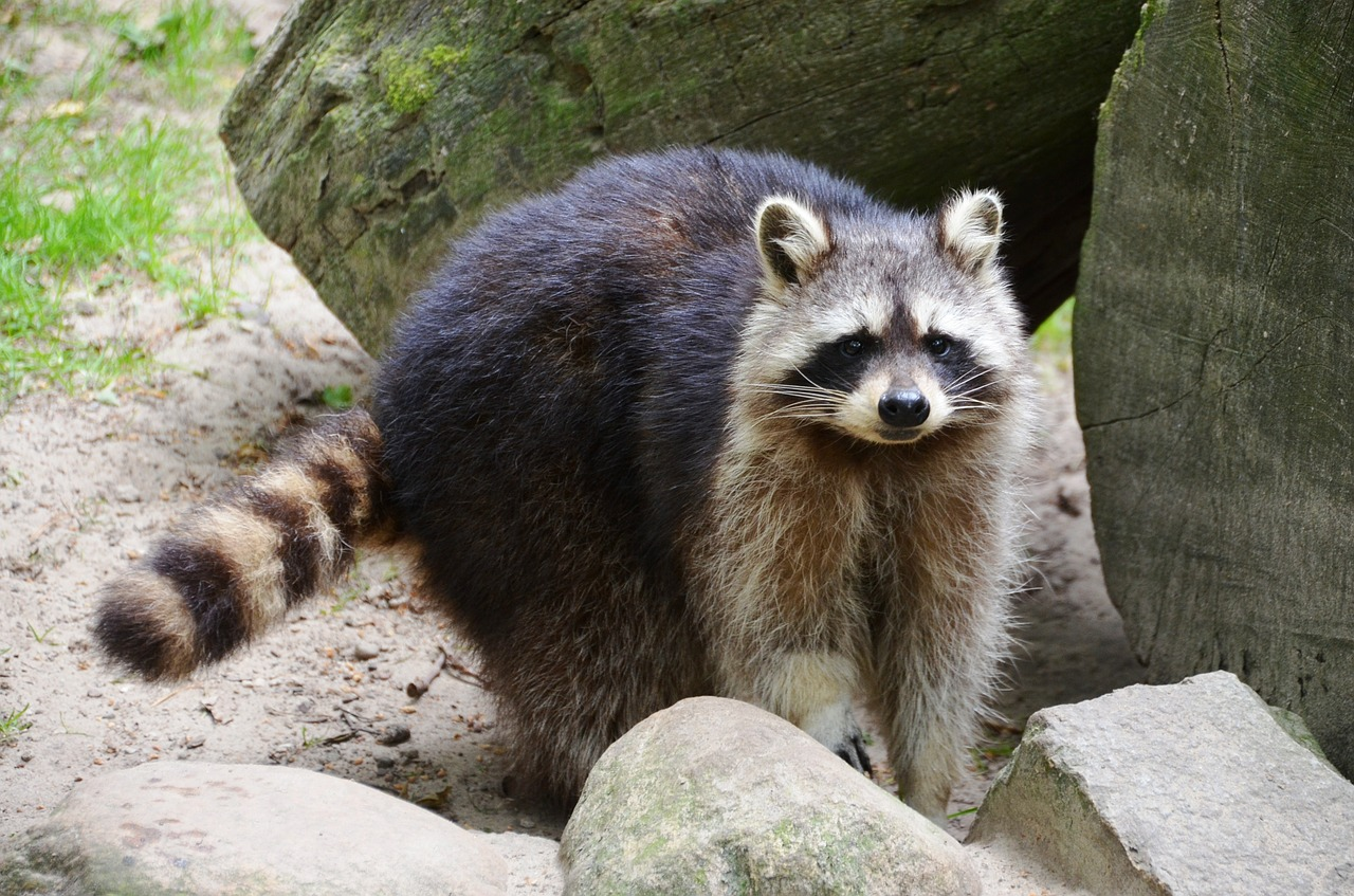 Where do Raccoon live,small predators