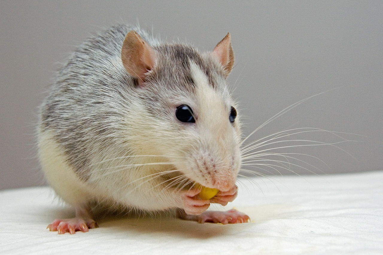 Facts about Rats,rodents