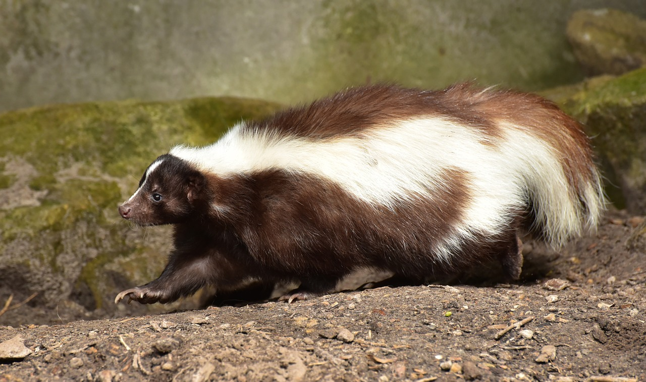 Baby Skunks,small predators