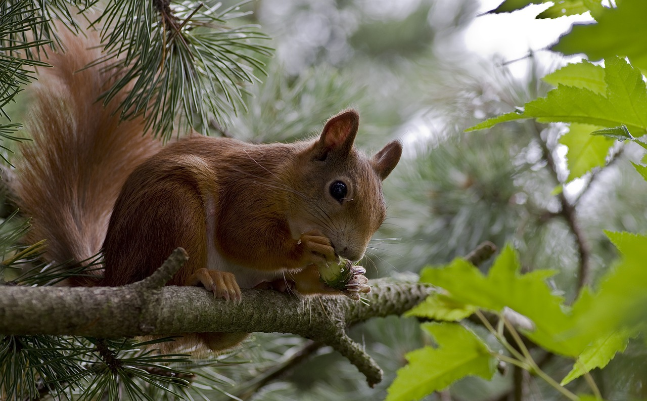 Red Squirrels,rodents