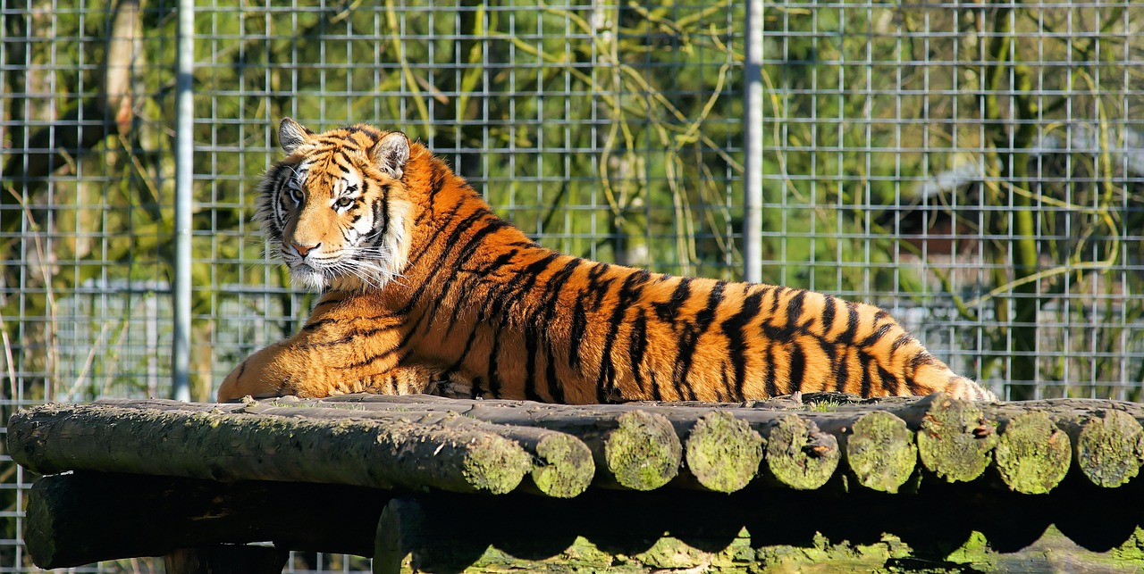 Tiger,cat family, why are tigers endangered