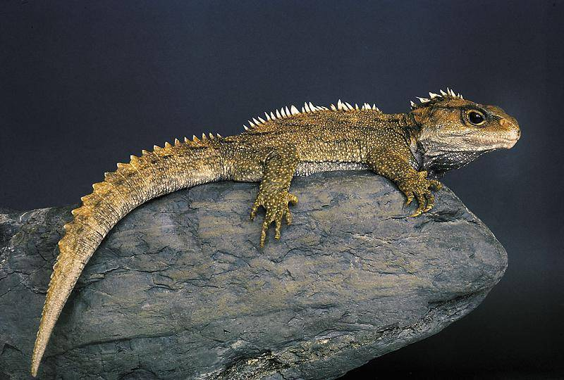 Tuatara lizards,Reptiles and amphibians