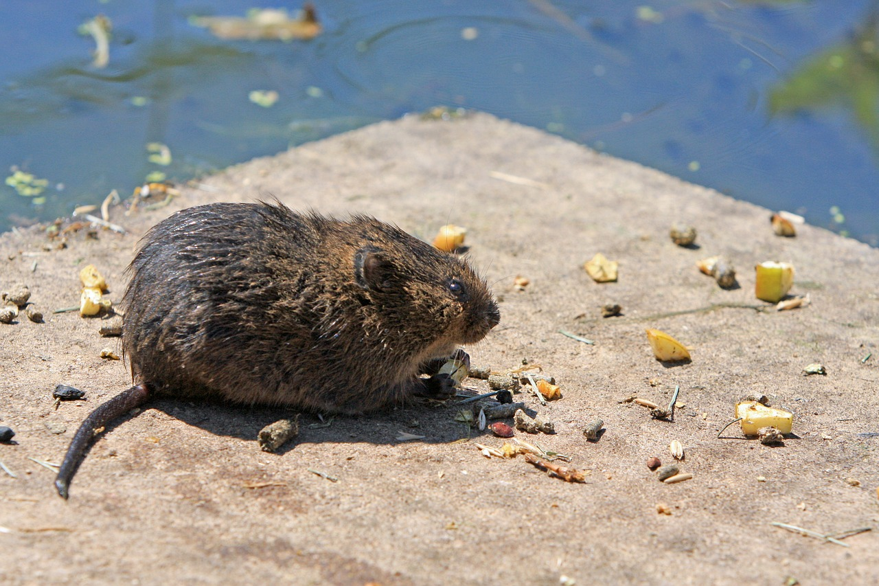 What is a Vole, rodents
