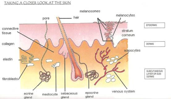 The Skin and Its Functions