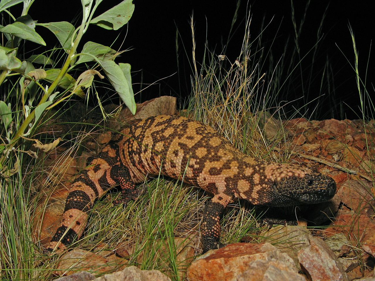 Gila monster facts,reptiles and amphibians, Gila Monster