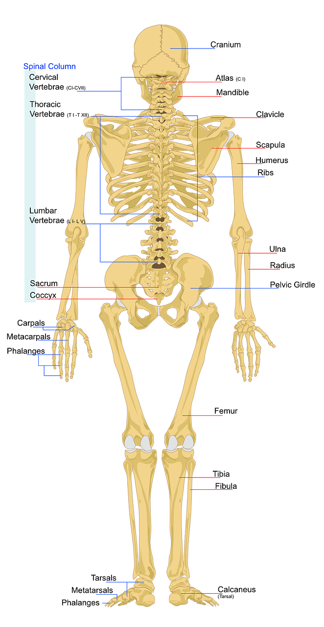 Human Bones And The Skeleton | Science Hub 4 Kids